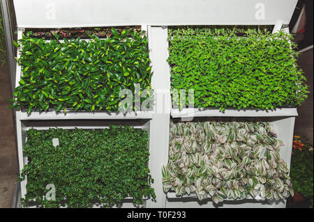 Cassettes for seedlings of flowers of ficuses and tradescantia in the greenhouse under additional lighting. - Stock Photo