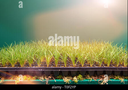 Cassettes for seedlings of aromatic herbs, vegetables and flowers in the greenhouse under additional lighting. - Stock Photo