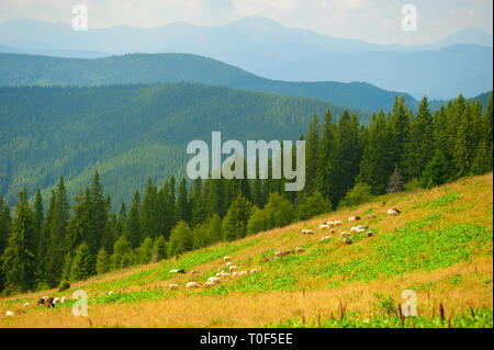 Herd of sheeps grazing on green meadow slope, Carpathian mountains landscape in background, Ukraine - Stock Photo