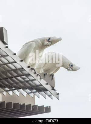 Two curious blue-eyed little corella parrots perched on building exterior with sky background in Darwin, Australia - Stock Photo