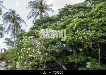 Little corella parrots perched in lush tree in tropical Darwin, Australia - Stock Photo