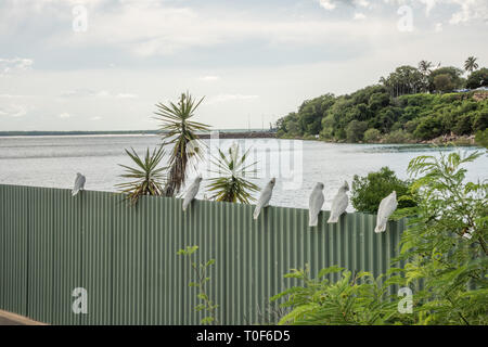 Little corella parrots perched on Timor Sea waterfront fence in tropical Darwin, Australia - Stock Photo