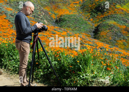 Super Bloom 2019. Prior to its closure, photographers, such as this man, were out in droves to capture photos of the poppies at Walker Canyon. - Stock Photo
