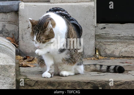 March 19, 2019 - London, UK, United Kingdom - Larry, the 10 Downing Street cat and Chief Mouser to the Cabinet Office is seen in Downing Street. (Credit Image: © Dinendra Haria/SOPA Images via ZUMA Wire) - Stock Photo