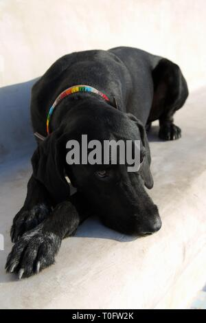 Large shiny black dog lying down and relaxing on a white marble floor - Stock Photo