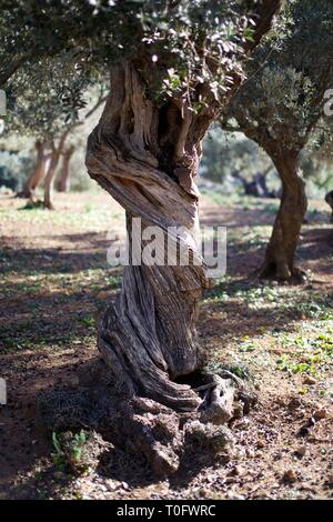 Twisted trunk of an ancient Olive tree in a field on a sunny day in Spain - Stock Photo
