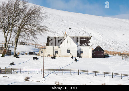Newfoundland dogs outside a house in the snow in Wanlockhead village. Scotlands highest village. Dumfries and Galloway, Scottish borders, Scotland - Stock Photo