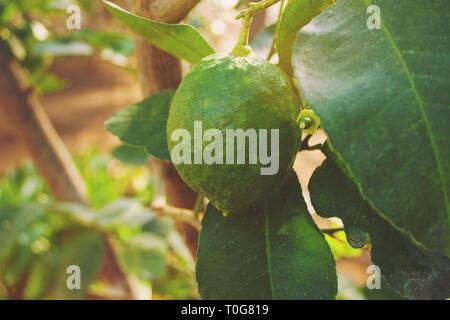green lemons on tree in garden - Stock Photo