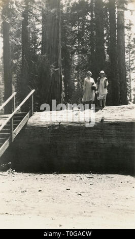 Antique June 1929 photograph, two women on the fallen Massachusetts redwood tree in Mariposa Grove, a sequoia grove located near Wawona, California, United States, in Yosemite National Park. It fell in 1927 and had been one of the most famous trees in the grove. SOURCE: ORIGINAL PHOTOGRAPH - Stock Photo