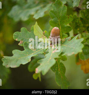 Details of oak tree leaf - Stock Photo