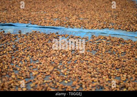 Cocoa seeds being sundried in the sun. Samosir Island in North Sumatra, Indonesia - Stock Photo