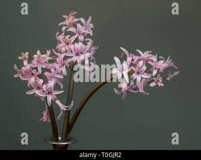 Three pink hyacinths in vase closeup, beautiful spring flower. On plain background with copyspace. Naturalized, not perfect. - Stock Photo