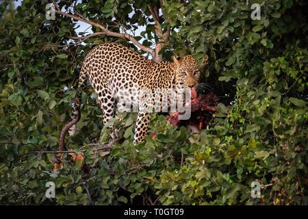 Leopard (Panthera pardus) on impala kill in tree, Savuti, Botswana, Africa - Stock Photo