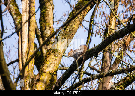 The invasive grey squirrel Sciurus carolinensis on a tree branch with moss and lichen looking down - Stock Photo