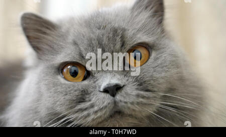 portrait of british cat close up, have fun - Stock Photo