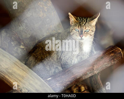 Wild forest cat sits among the dry logs. Wild forest cat is looking forward. European wildcat, Felis silvestris - Stock Photo