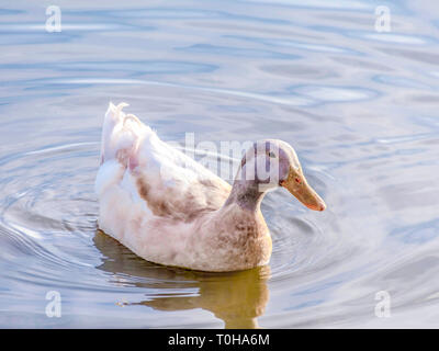 Duck in a Pond - Stock Photo