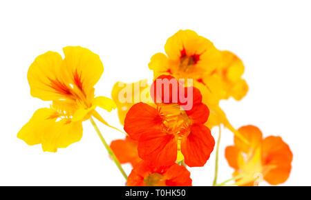Flora of Gran Canaria - Tropaeolum majus, garden nasturtium isolated on white background - Stock Photo