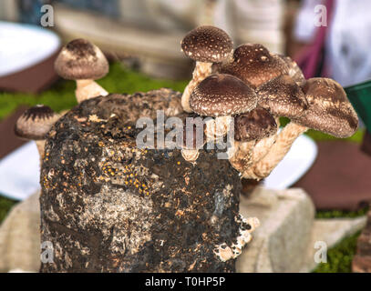 Shiitake mushrooms on a mushroom block. The Shiitake (Lentinula edodes) is an edible mushroom native to East Asia. - Stock Photo