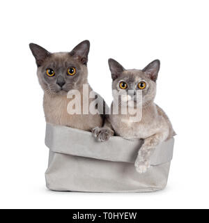 Cute chocolate and tortie Burmese cat kittens, sitting together in a grey paper bag. Looking at lens with big round yellow eyes. Isolated on white bac - Stock Photo