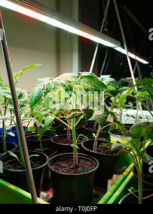 Tomato seedlings growing indoors on a window sill under a grow light. - Stock Photo