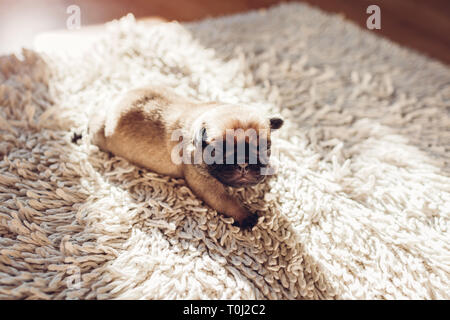 Pug dog puppy sleeping on carpet at home. Little puppy crawling on rug - Stock Photo