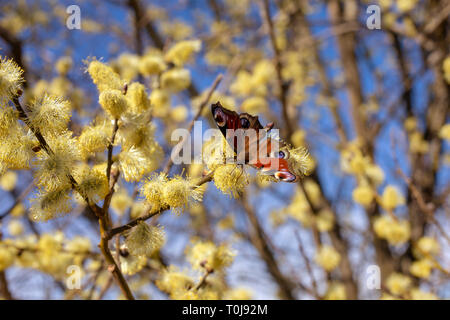 Beautiful willow twigs and colored butterfly in spring at sunrise morning, macro. Amazing elegant artistic image nature in spring, willow flowers and  - Stock Photo
