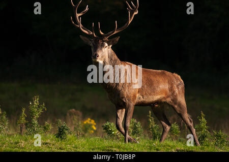 One single Red Deer stag Cervus Elaphus at great posture looking straight into the camera on dark background on bright sunny day - Stock Photo