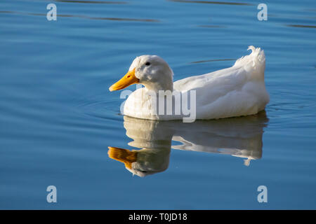 WhiWhite pekin duck (anas platyrhynchos domesticus) swimming on a still clear pond with reflection in the water in early springte pekin duck swimming - Stock Photo