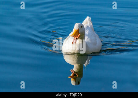 White pekin duck (anas platyrhynchos domesticus) swimming on a still clear pond with reflection in the water in early spring - Stock Photo