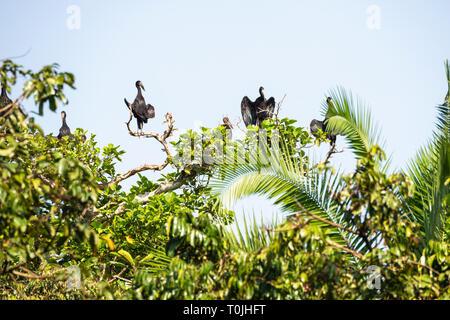 African openbill storks (Amastomus lamelligerus) in tree with wings spread, Bigodi Wetland Sanctuary, Magombe Swamp, South West Uganda, East Africa - Stock Photo