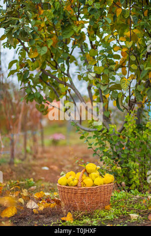 Quince autumn harvest, full basket of quince in the garden. Growing organic fruits on the farm. - Stock Photo