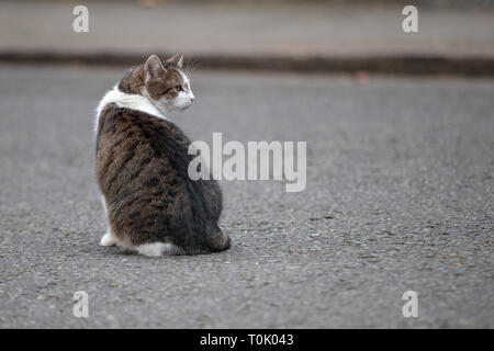 London, UK. 20th Mar, 2019. London, UK. Wednesday 20 March 2019. Larry, the Downing Street cat outside number 10 Downing Street ahead of Theresa May's statement on Brexit, Credit: Jason Richardson/Alamy Live News - Stock Photo