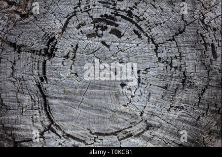 Tree trunk wood background, Old weathered gray color wooden pine trunk, closeup view - Stock Photo