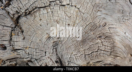 Pine tree trunk wood background, Old weathered gray color wooden stump, banner, closeup view - Stock Photo