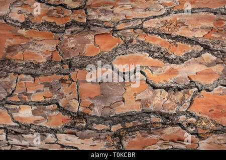 Tree bark wood background, Pine trunk bark texture, closeup view - Stock Photo