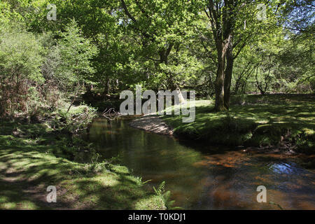 Ober Water stream and Beech Fagus sylvatica woodland in spring Rhinefield Walk New Forest National Park England UK - Stock Photo