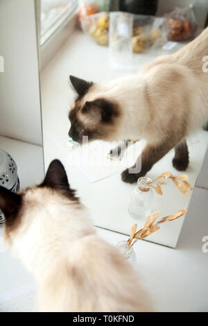 Cute longhair cat walking in front of a mirror. Elegant Balinese breed cat reflection in the home interior - Stock Photo