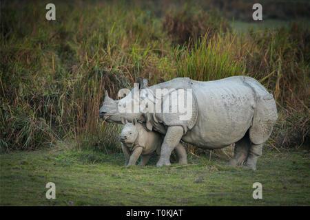 Mother and baby Indian Rhinoceros  at kazhiranga National park, Assam, Indian - Stock Photo