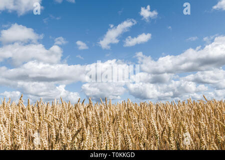 Golden wheat field under blue sky with white clouds. - Stock Photo