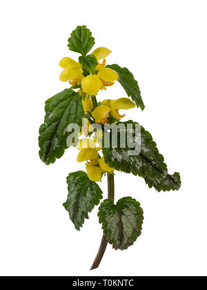 Variegated foliage and yellow spring flowers of the invasive garden plant, Lamiastrum galeobdolon subsp argentatum, isolated on a white background - Stock Photo