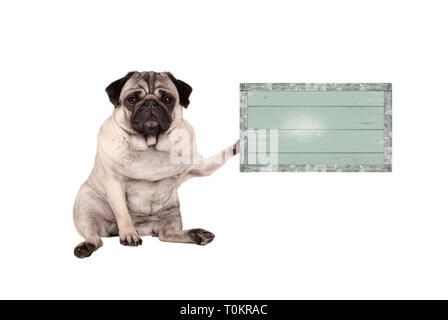 cute grumpy pug puppy dog, sitting down, holding weathered vintage green wooden sign board, isolated on white background - Stock Photo