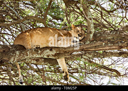 Lion Sleeping In A Tree - Stock Photo