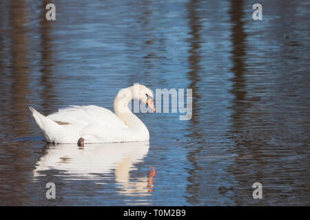 A mute swan glides across a blue lake. Its soft feathers and shoreline trees reflect in the rippling water. - Stock Photo