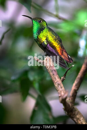 Coppery-headed emerald (Elvira cupreiceps), adult male, perched on a branch in Monteverde National Park, Costa Rica. - Stock Photo