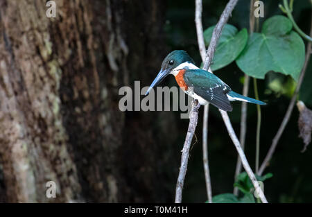 Green kingfisher (Chloroceryle americana), adult male, sitting on a branch above the water near Sierpe, Costa Rica. - Stock Photo