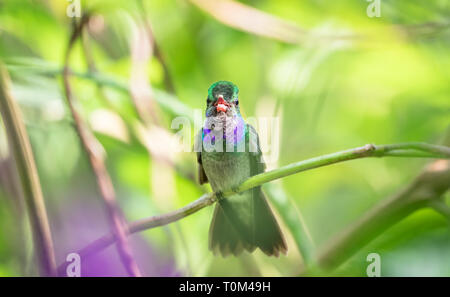 Charming hummingbird (Amazilia decora) perched on a branch on the Osa Peninsula, Costa Rica. - Stock Photo