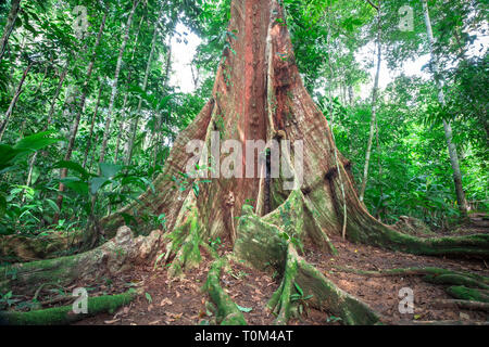 Enormous buttress roots emerge from the forest floor on the Osa Peninsula, Costa Rica. - Stock Photo