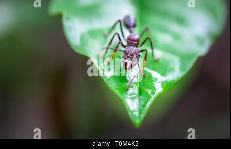 Bullet ant (Paraponera clavata) near Puerto Viejo de Sarapiqui, Costa Rica.