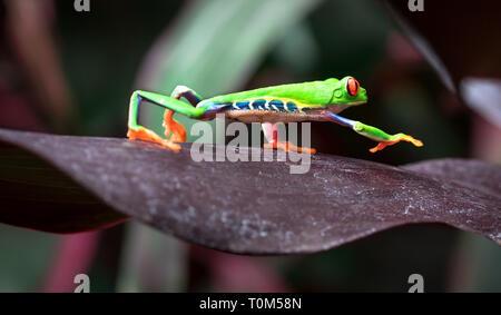 Red-eyed treefrog (Agalychnis callidryas) crawling across a large leaf. Costa Rica. - Stock Photo